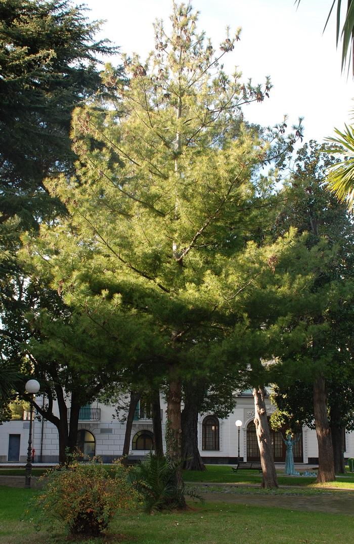 Pinus strobus pino strobo progetto sestri verde for Ocra pianta